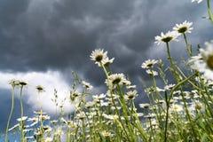 La manzanilla florece en un fondo del cielo tempestuoso 2019 Fotos de archivo