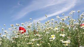 La manzanilla florece estación de primavera almacen de metraje de vídeo