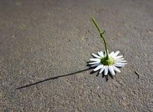 La manzanilla rasgó lejos y cayó en el asfalto Imagen de archivo libre de regalías