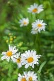 La manzanilla salvaje florece en un campo en un día soleado foto de archivo