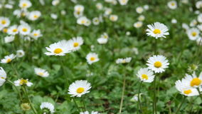 La manzanilla salvaje florece en un campo en un día soleado metrajes
