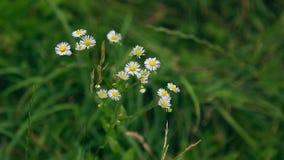 La manzanilla salvaje florece en un campo en un día soleado Profundidad del campo baja almacen de video