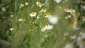 La manzanilla salvaje florece en un campo en un día soleado Profundidad del campo baja metrajes