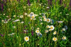 La manzanilla salvaje hermosa florece en prado rural verde Imágenes de archivo libres de regalías