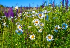 La manzanilla salvaje hermosa florece en prado rural verde Fotos de archivo libres de regalías