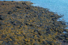 La marée basse a exposé des roches sur une apparence rocailleuse de rivage de la Nouvelle Angleterre Image libre de droits