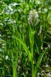 la marais-orchidée tôt Image stock