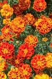 La maravilla amarilla y anaranjada florece en el jardín Fotos de archivo libres de regalías