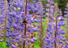 La maravilla hermosa de la naturaleza manosea placer de las abejas Fotos de archivo libres de regalías