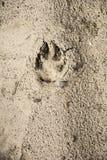 La marca de la bestia en la arena Fotografía de archivo libre de regalías