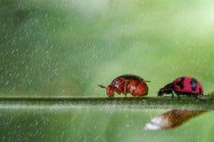 La marche d'insecte de Madame suivent l'insecte orange photographie stock libre de droits