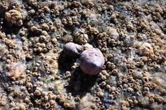 La marea baja en la orilla nos presenta cáscaras y lapas Imagen de archivo