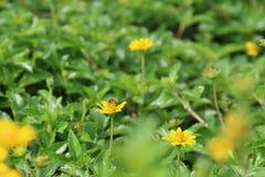 La margarita amarilla de la flor siembra el flor pequeño y la abeja en fondo de la naturaleza Fotos de archivo libres de regalías