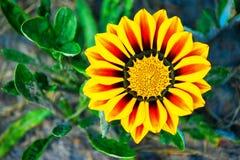 La margarita amarilla una crece Imagen de archivo