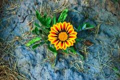 La margarita amarilla una crece Fotos de archivo