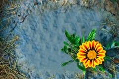 La margarita amarilla una crece Fotos de archivo libres de regalías