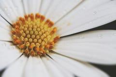 La margarita blanca con descensos de rocío se cierra para arriba Imagen de archivo libre de regalías