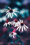La margarita blanca mágica soñadora de hadas hermosa florece con las hojas verde oscuro Foto de archivo libre de regalías