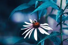 La margarita blanca mágica soñadora de hadas hermosa florece con las hojas verde oscuro Fotografía de archivo libre de regalías