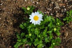 La margarita blanca tiene estambres amarillos hermosos imagen de archivo libre de regalías
