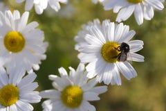 La margarita de ojo de buey con manosea la abeja Foto de archivo
