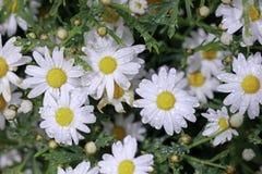 La margarita es una flor en la lluvia Fotografía de archivo