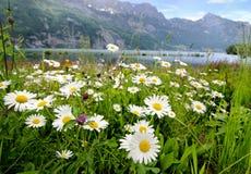 La margarita florece cerca de un lago fotografía de archivo