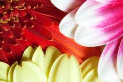 La margarita florece detalladamente Fotografía de archivo
