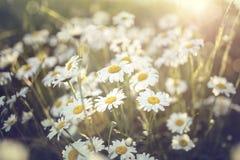 La margarita florece en un campo contra el sol imagen de archivo