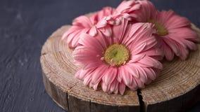 La margarita rosada del gerbera florece en fondos de madera aserrados del hormigón del abowe imágenes de archivo libres de regalías