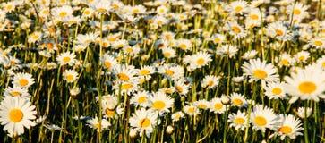 La margherita adorabile del fiore fiorisce il fondo Giacimento di fiore di estate fotografia stock