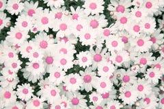 La margherita adorabile di colore di rosa del fiore fiorisce il fondo Immagini Stock Libere da Diritti