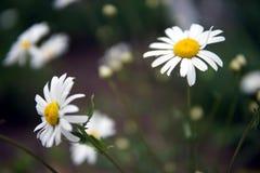 La margherita fiorisce il primo piano immagine stock