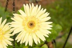La margherita gialla della gerbera prende il sole al sole dopo pioggia Fotografie Stock Libere da Diritti