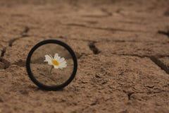 La margherita incrinata della terra fiorisce la sopravvivenza Fotografia Stock