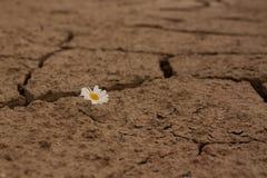 La margherita incrinata della terra fiorisce la sopravvivenza Immagine Stock Libera da Diritti