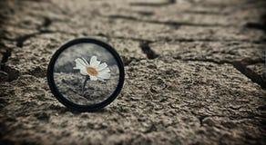 La margherita incrinata della terra fiorisce la sopravvivenza Fotografie Stock Libere da Diritti