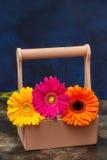 La margherita variopinta della gerbera fiorisce in scatola di legno, fondo blu Fotografia Stock Libera da Diritti