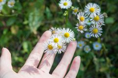 La marguerite émouvante fleurit avec des mains, tout en étant sur le pré photographie stock