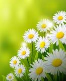 La marguerite de beauté fleurit le fond Image stock