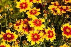 La marguerite de jaune de fleur couvrante avec le centre rouge a appelé l'unité centrale de Gaillardia Image libre de droits