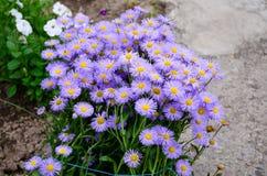 La marguerite fleurit au printemps au crépuscule Photographie stock