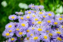 La marguerite fleurit au printemps au crépuscule Photographie stock libre de droits