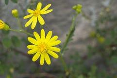 La marguerite fleurit, des photos des fleurs de marguerite pour le jour d'amants, les plus merveilleuses marguerites naturelles p Images stock