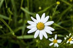 La marguerite fleurit, des photos des fleurs de marguerite pour le jour d'amants, les plus merveilleuses marguerites naturelles p Photo stock