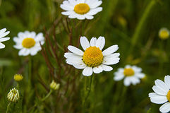 La marguerite fleurit, des photos des fleurs de marguerite pour le jour d'amants, les plus merveilleuses marguerites naturelles p Image stock