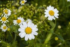 La marguerite fleurit, des photos des fleurs de marguerite pour le jour d'amants, les plus merveilleuses marguerites naturelles p Image libre de droits