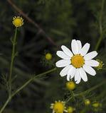 La marguerite fleurit, des photos des fleurs de marguerite pour le jour d'amants, les plus merveilleuses marguerites naturelles p Photo libre de droits