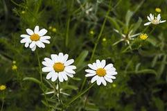 La marguerite fleurit, des photos des fleurs de marguerite pour le jour d'amants, les plus merveilleuses marguerites naturelles p Photos libres de droits