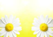 La marguerite fleurit le fond Photo stock